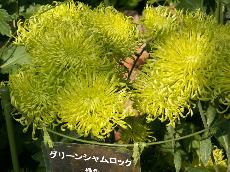 kikusono4
